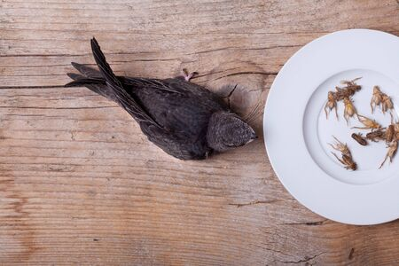 Young Eurasian Swift at feeding time with house crickets photo