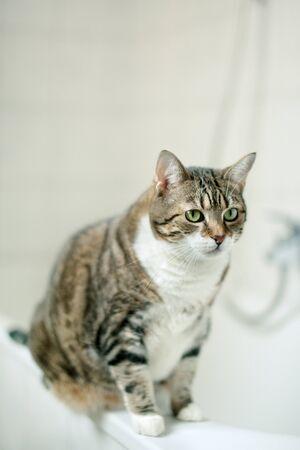 Portrait of a common european house cat in bathroom Stock Photo - 8443588