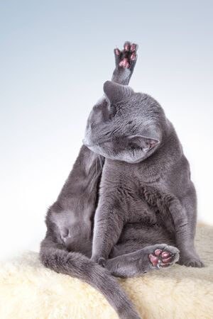 housecat: Russian Blue cat cleaning and scratching itself
