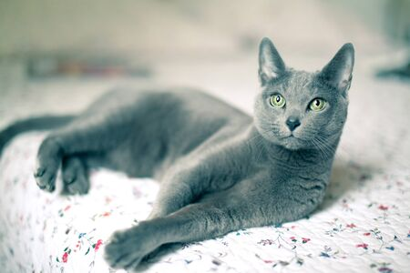 gray cat: Portrait of a purebred Russian Blue Cat