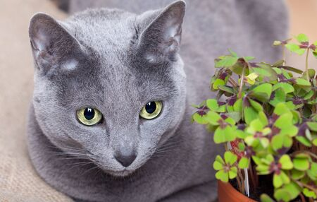 leaved: Closeup of Cat and green four leaved clover plants