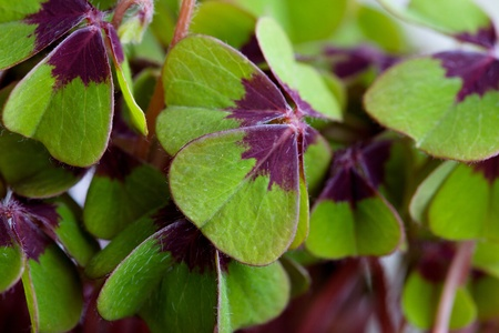 leaved: Closeup of green four leaved clover plants Stock Photo