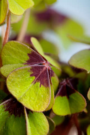 Closeup of green four leaved clover plants photo
