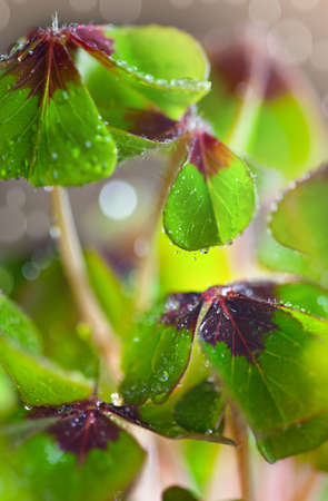 Closeup of green four leaved clover plants Stock Photo - 8684426