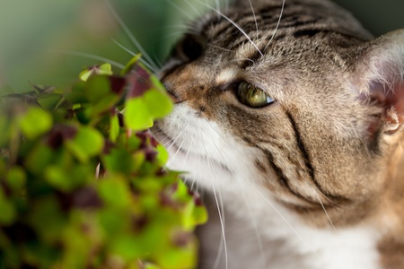Closeup of Cat and green four leaved clover plants photo