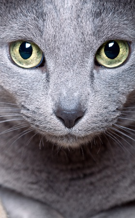 gray cat: Portrait of a purebred Russian blue Cat Stock Photo