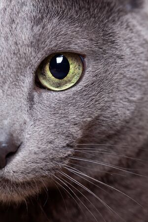 whiskers: Portrait of a purebred Russian blue Cat Stock Photo