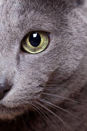 bigodes: Retrato de um gato azul russo de ra�a pura Imagens