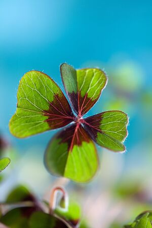 Closeup of single fresh four-leaved clover plant photo