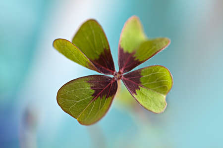 fourleaved: Closeup of single fresh four-leaved clover plant Stock Photo
