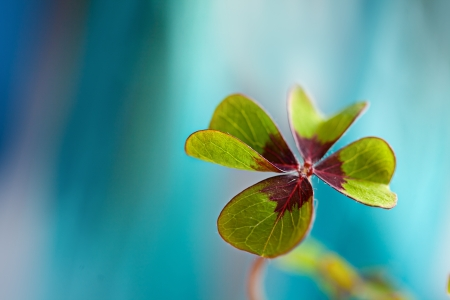 Closeup of single fresh four-leaved clover plant Stockfoto