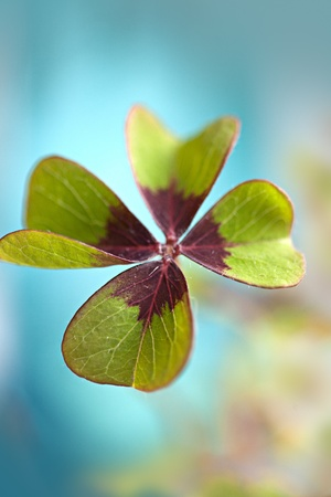four leaf clovers: Closeup of single fresh four-leaved clover plant Stock Photo