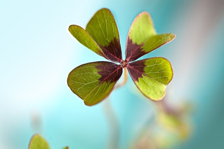 Closeup of single fresh four-leaved clover plant photo