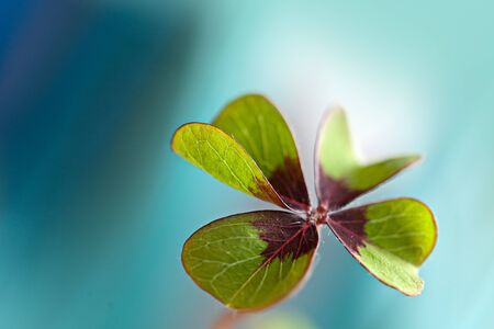 Closeup of single fresh four-leaved clover plant Stock Photo - 8808851