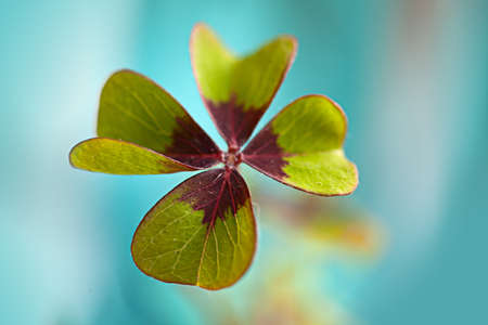Closeup of single fresh four-leaved clover plant Stock Photo - 8808858