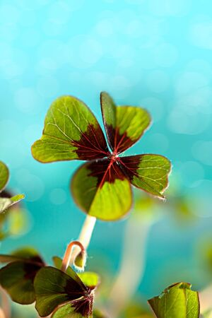 Closeup of single fresh four-leaved clover plant Stock Photo