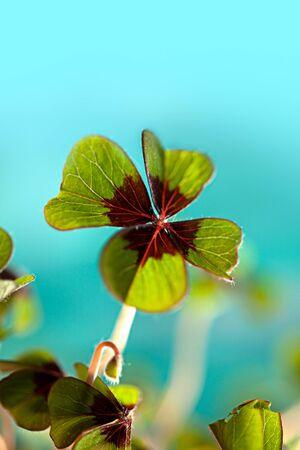 Closeup of single fresh four-leaved clover plant Stock Photo