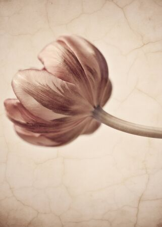 visual art: Tulips blossom in retro vintage style editing