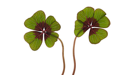 Closeup of green four leaved clover plants on white Stock Photo - 8808870