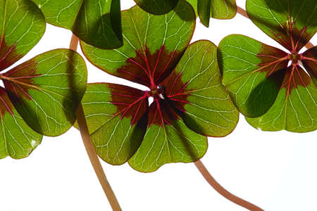 leaved: Closeup of green four leaved clover plants on white