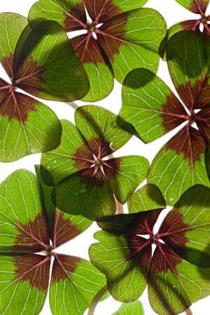 Closeup of green four leaved clover plants on white Stock Photo - 8809084
