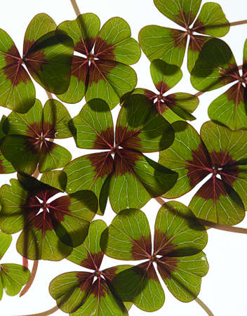 Closeup of green four leaved clover plants on white Stock Photo - 8809082