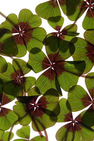Closeup of green four leaved clover plants on white Stock Photo - 8809088