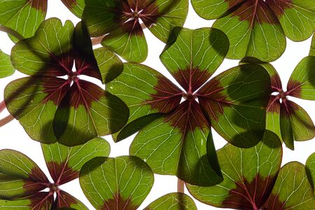 Closeup of green four leaved clover plants on white Stock Photo - 8809090