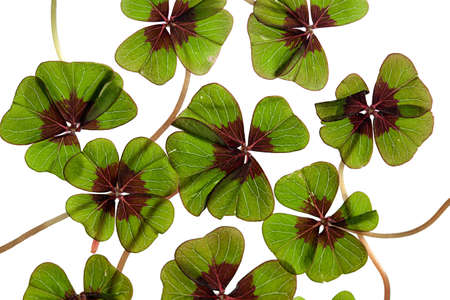 Closeup of green four leaved clover plants on white Stock Photo - 8809081