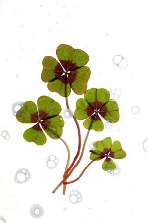 Closeup of green four leaved clover plants on white Stock Photo - 8808876