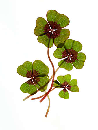 Closeup of green four leaved clover plants on white photo