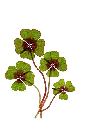 Closeup of green four leaved clover plants on white Stock Photo - 8808873