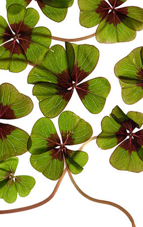 backlite: Closeup of green four leaved clover plants on white