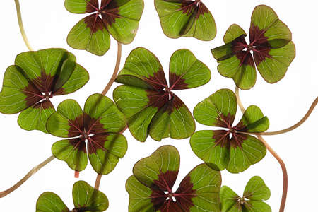 Closeup of green four leaved clover plants on white Stock Photo - 8809085
