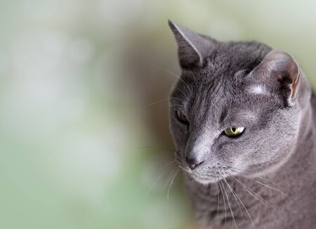 Portrait of a purebred Russian blue Cat photo