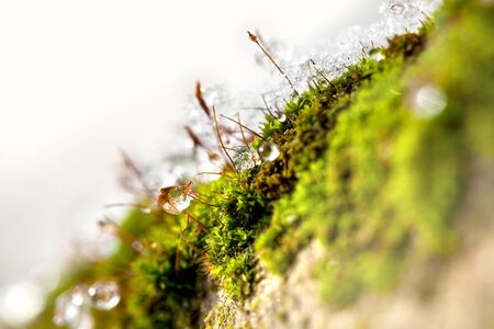 ice crust: Moss in Winter with ice and dew starting to thaw Stock Photo