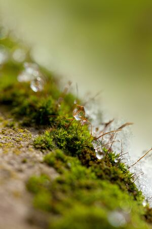winter thaw: Moss in Winter with ice and dew starting to thaw Stock Photo