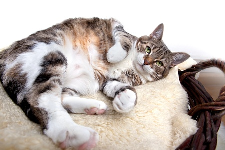 housecat: Fat Cat lying on Lamb skin in different funny poses