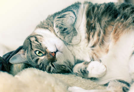 Fat Cat lying on Lamb skin in different funny poses Stock Photo - 9001951
