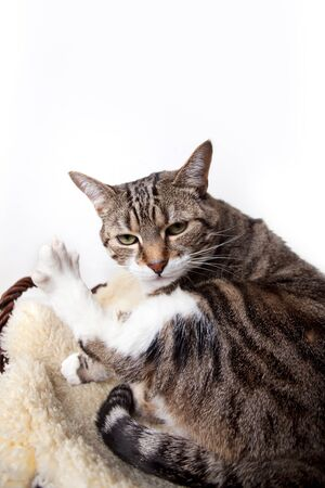 Fat Cat lying on Lamb skin in different funny poses Stock Photo - 9001954