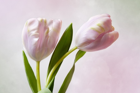Pink Tulip flowers on colorful background photo