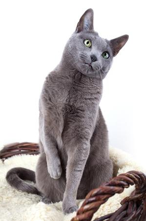 Portrait of a Russian Ble Cat on Lambskin in Wicker Basket photo