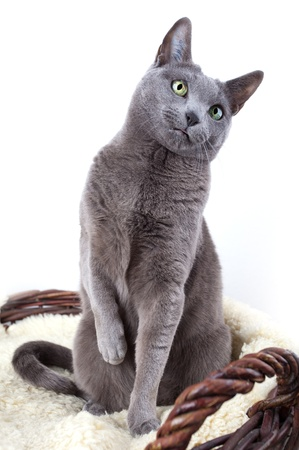 gray cat: Portrait of a Russian Ble Cat on Lambskin in Wicker Basket Stock Photo