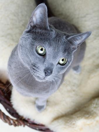 Portrait of a Russian Ble Cat on Lambskin in Wicker Basket Stock Photo - 9213086