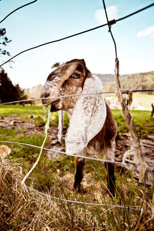 Portraits of young Anglo-Nubian goats on spring meadow photo