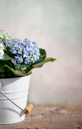 stilllife: Still-Life with blue Hortensia Flowers in decorative bucket