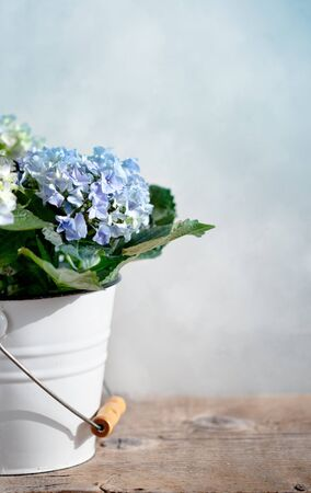 hydrangea: Still-Life with blue Hortensia Flowers in decorative bucket