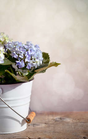 Still-Life with blue Hortensia Flowers in decorative bucket photo