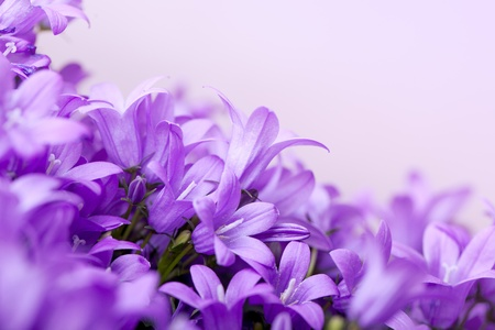 Close-Up of violet colored Campanula Bellflowers