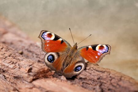 European Peacock butterfly sitting on tree bark
